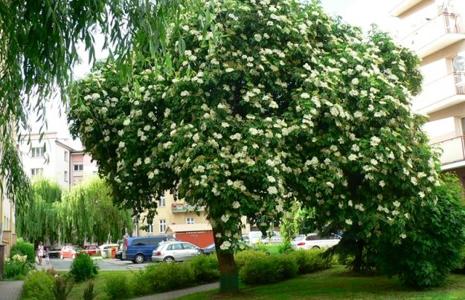 Europejskie Drzewo Roku – zagłosuj na Czarny Bez z Rzeszowa!